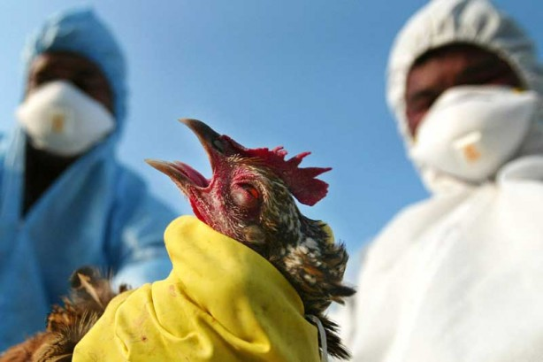 سازمان دامپزشکی ایران هرگونه موارد آنفلوانزای پرندگان در انسان را رد می کند