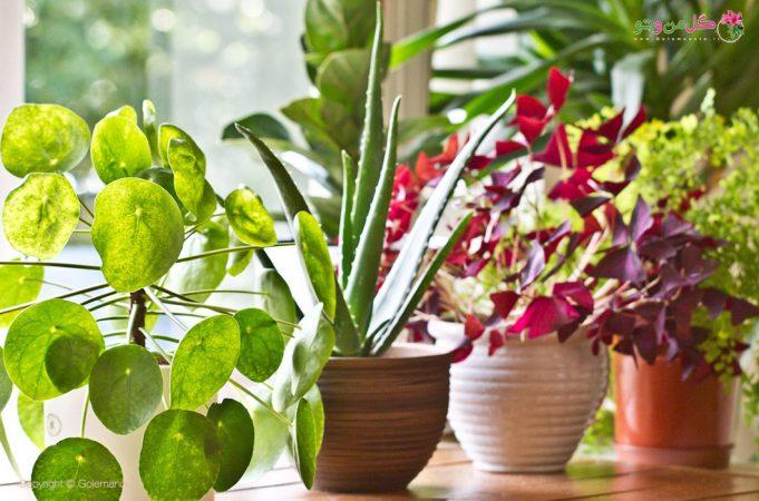 گیاهان برگ رنگی